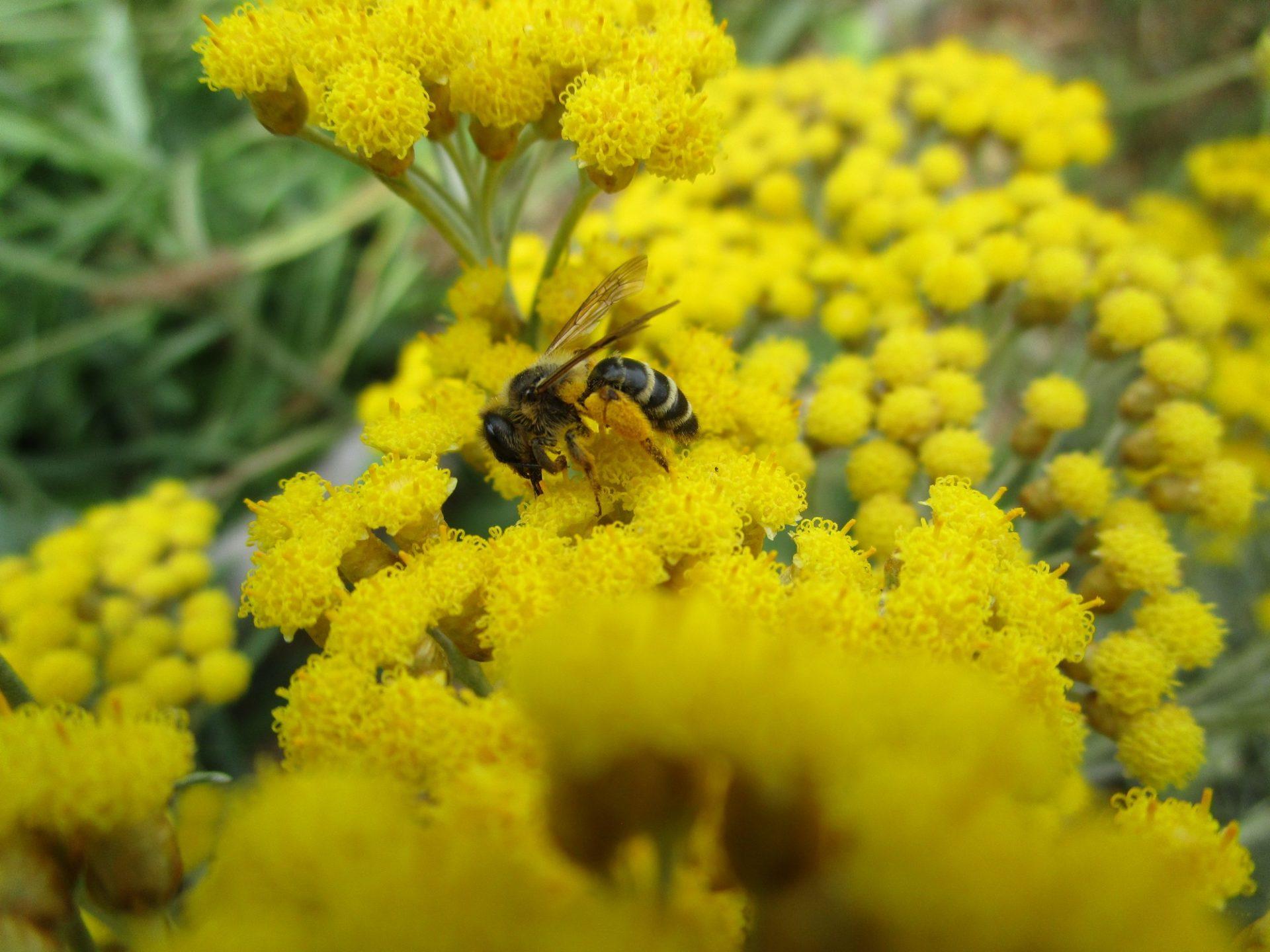 Une abeille sur l'hélychrise