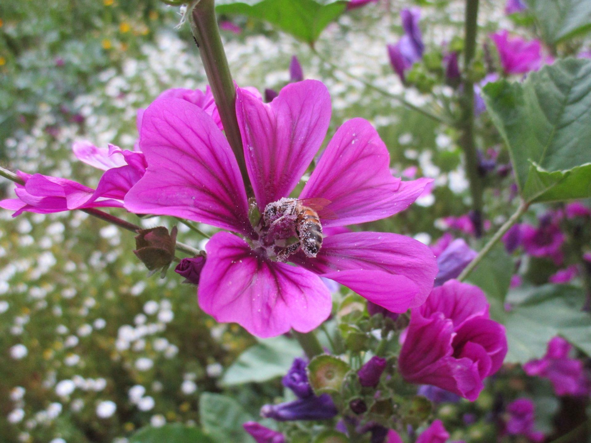 Une abeille dans la mauve