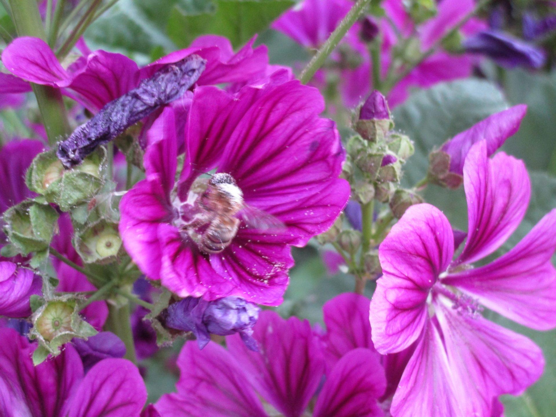 Les abeilles font des roulades dans les fleurs !