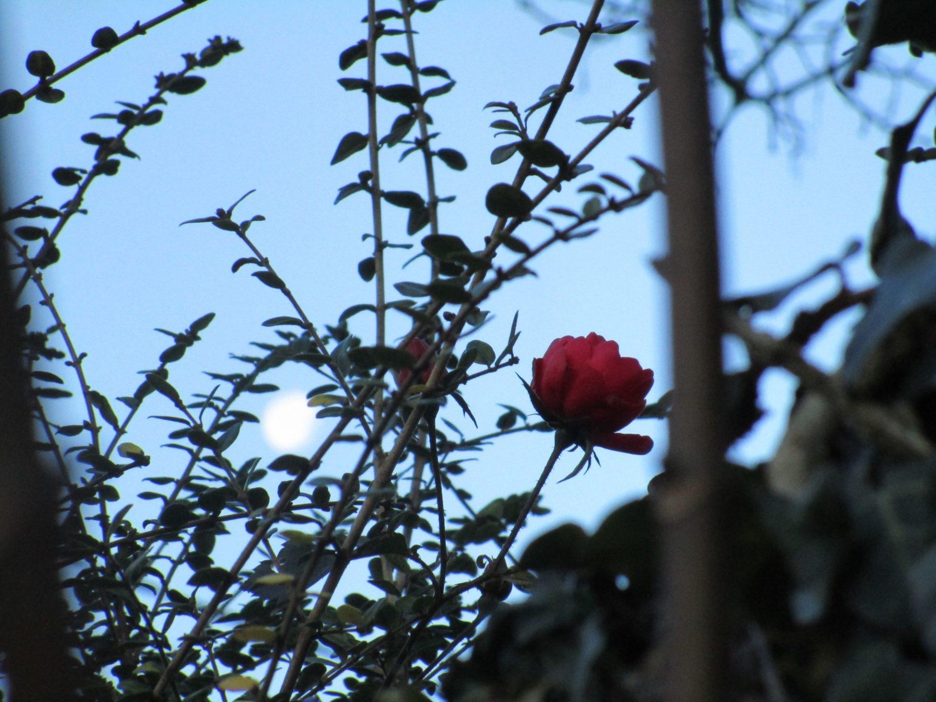 Lune et Rose en décembre